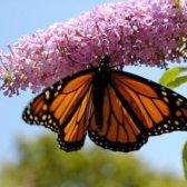 arbusto de borboleta