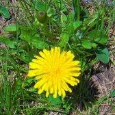 Dandelion: ervas daninhas comestíveis ou erva cobiçado?