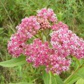 crescer milkweed