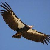 Maior ave de rapina